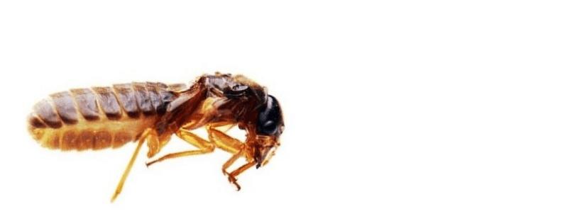 蚁王 Termite King