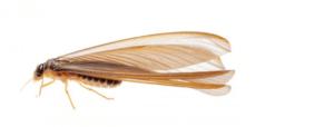 繁殖型白蚁 Alate