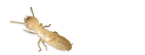 工蚁 Termite Workers