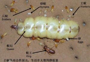 白蚁长什么样子