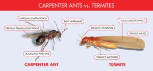 carpenter-ant-vs-termite