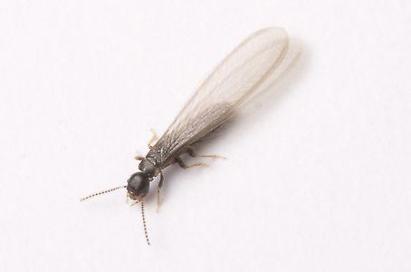 有翅繁殖型白蚁
