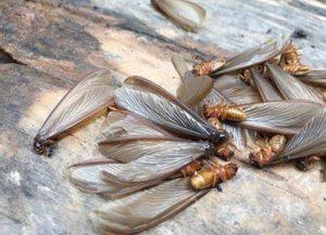 白蚁 / 白蚂蚁 / 有翅繁殖型白蚁