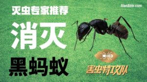 how to get rid of black ant 消灭蚂蚁