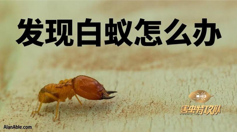 发现白蚂蚁怎么办 how do to if you find termite